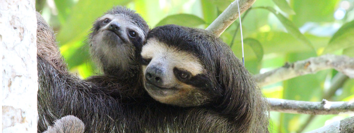 Mating Sloths