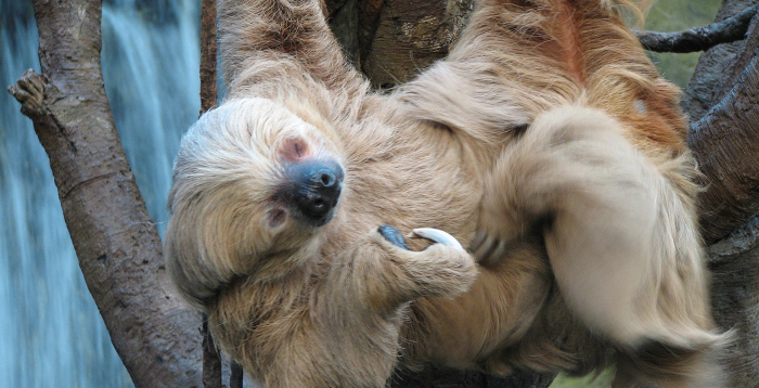 Old Sloth