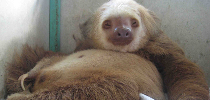 Sloth Belly