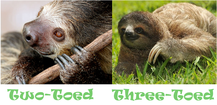 Two-Toed Sloth and Three-Toed Sloth